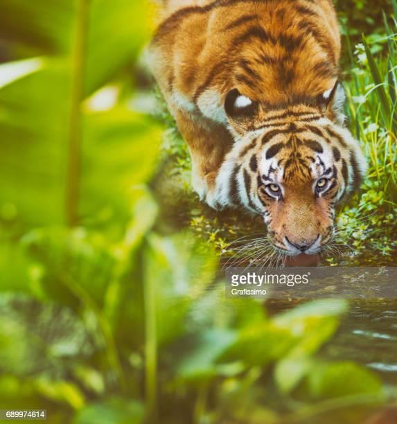 Siberian tiger drinking at river in jungle