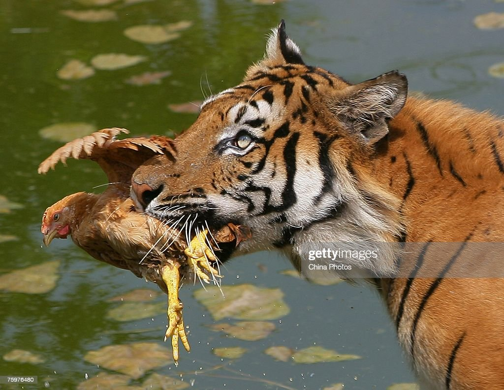 A Siberian tiger eats a chicken in a pond to cool down at the Chongqing Safari Park August 5, 2007 in Chongqing Municipality, China. The park, which has 30,000 animals in 430 categories, keeps animals cool during a heatwave as temperatures hit 38 degrees Celsius (100 degrees Fahrenheit).
