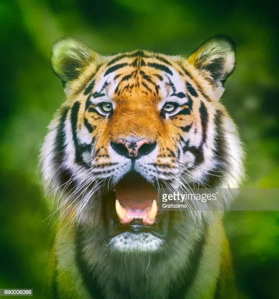 Siberian tiger headshot looking at camera