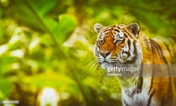 Siberian tiger hunting in the jungle