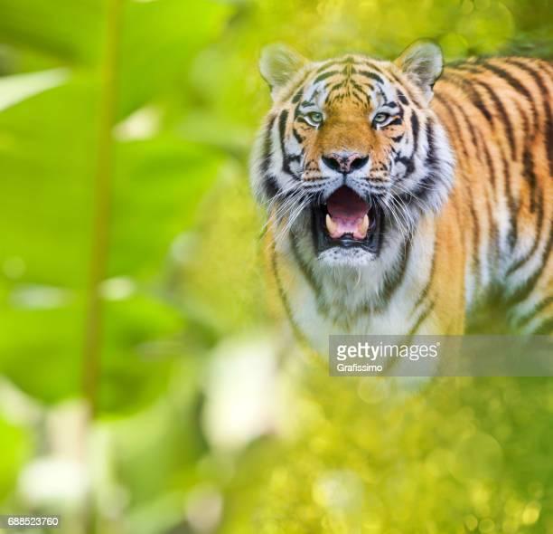Siberian tiger in jungle looking at camera