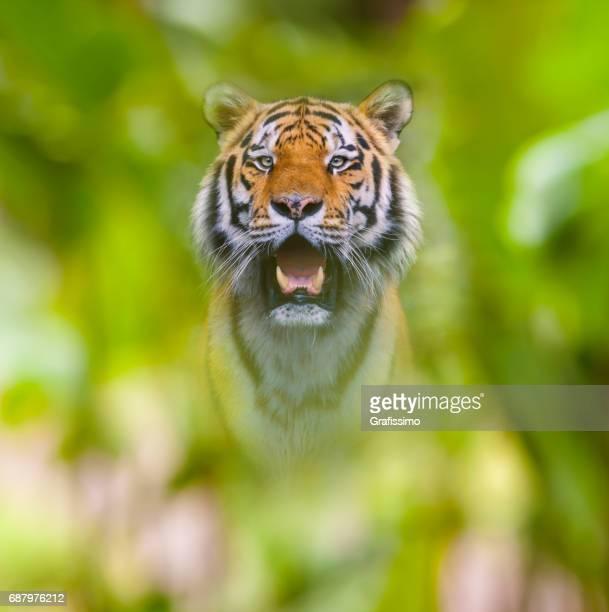Sibirischer Tiger im Dschungel Blick in die Kamera