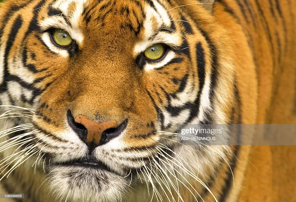 Siberian tiger in Thoiry France on September 18th 2008