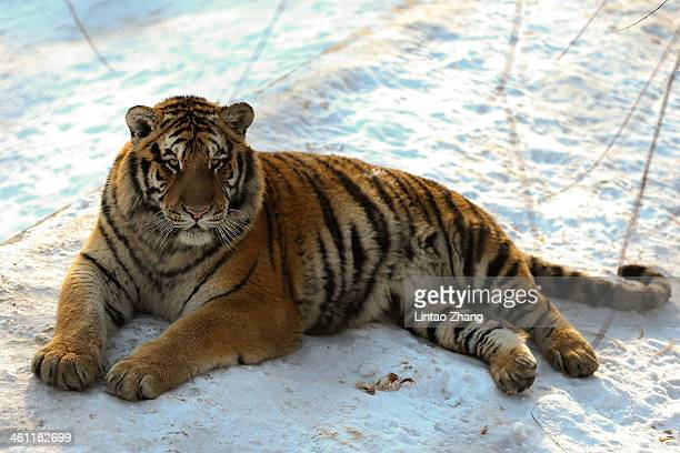 Siberian tiger lies on the snow in its enclosure at the Siberian Tiger Park on January 6 2014 in Harbin China The Siberian Tiger Park was built in...