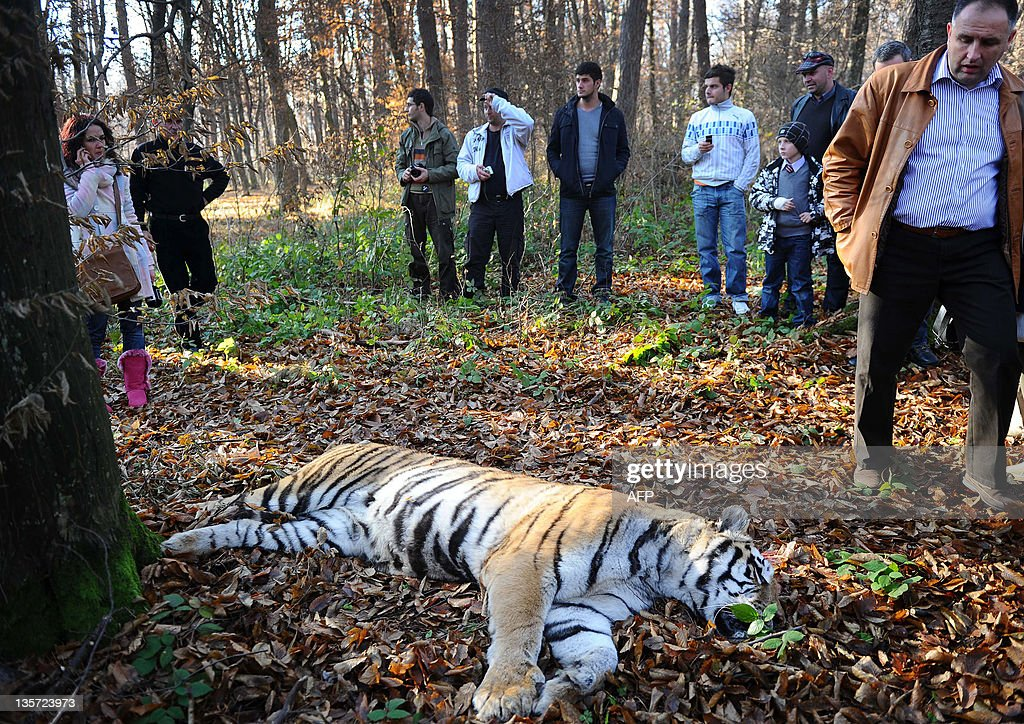 A Siberian tiger lies shot dead in a forest hours after it escaped from the local zoo of Sibiu (300km northwest from Bucharest), central Romania, on December 13, 2011. The tiger was shot when it attacked the hunters who were trying to tranquillize it, Mirela Gligore, spokesperson for the Sibiu townhall, said. The big cat, a female, had escaped from the zoo in the morning, after the keeper apparently left the gate ajar. It was first seen in the forest sheltering the zoo but attempts to capture it failed when it managed to jump over the 1.8-metre high fence. The feline then headed to the outskirts of the city and local police went from door to door to ask people to stay indoors. It was eventually tracked down in a nearby forest and shot in the head. AFP PHOTO / SEBASTIAN MARCOVICI