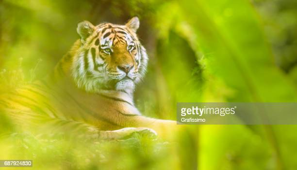 Siberian tiger lying resting in the jungle