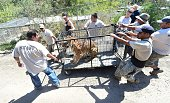 A Siberian tiger named Jodie is carried in a cage back to her enclosure upon return to the Wildlife Waystation in Sylmar California on July 27 2016...