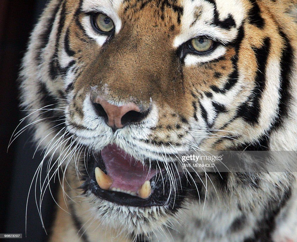 A Siberian tiger named Taiga walks around her enclosure at the zoo in the eastern German city of Chemnitz on January 7 2010 The twelveyearold tiger...
