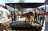A Siberian tiger named Tyson is transported in a cage back to his enclosure upon return at the Wildlife Waystation in Sylmar California on July 27 a...