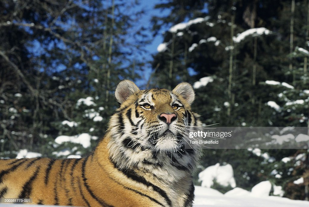 Siberian tiger (Panthera tigris altaica) on snow, close-up : Stock Photo