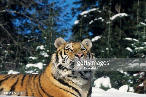 Siberian tiger (Panthera tigris altaica) on snow, close-up : Stock Photo