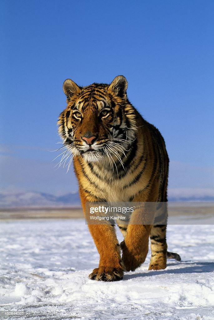 Siberian Tiger On Snow
