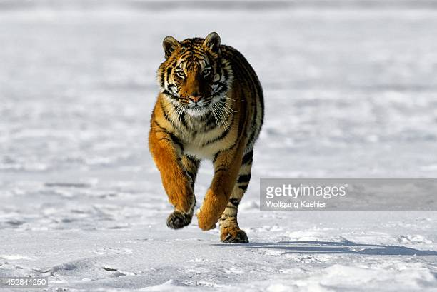Siberian Tiger On Snow Running