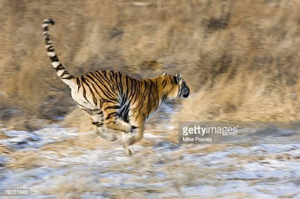 Siberian Tiger, Panthera tigris altaica, Adult running, Harbin Tiger Park, China, semi-captive