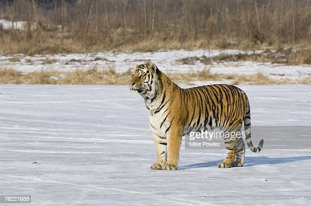 Siberian Tiger, Panthera tigris altaica, Adult standing on ice, Harbin Tiger Park, China, semi-captive