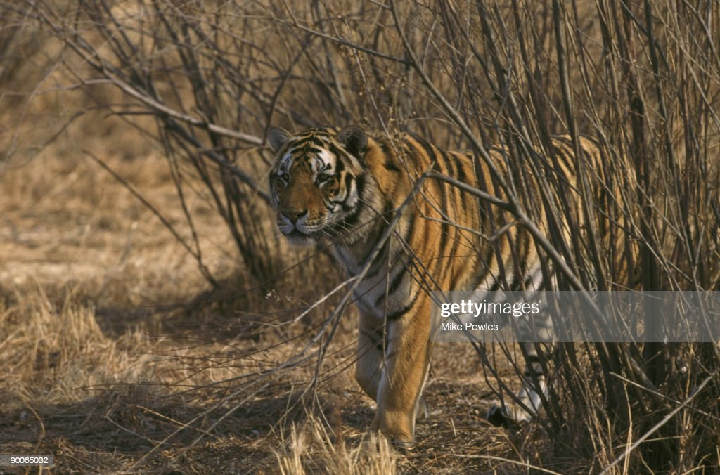 siberian tiger panthera tigris china