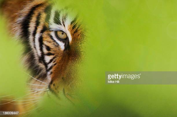 Siberian Tiger peering through the undergrowth