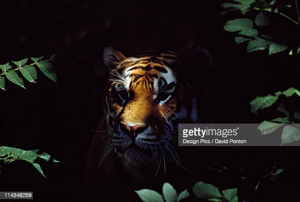 Siberian Tiger (Panthera Tigris Altaica) Peers From Forest Shadows