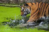 Female siberian tiger in green water