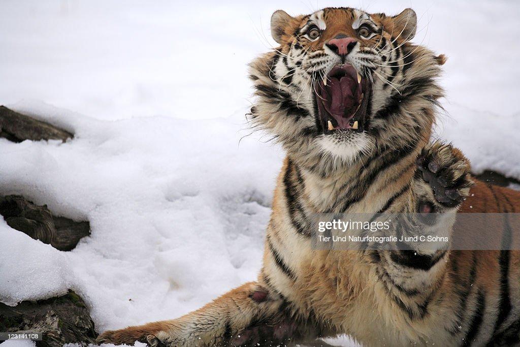 Siberian Tiger (Panthera tigris altaica) : Stock Photo