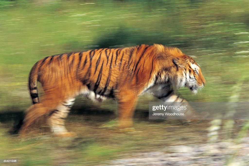 Siberian Tiger (Panthera tigris altaica) : Stock Photo
