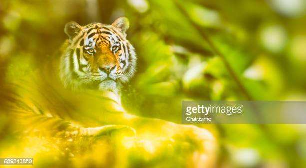 Sibirischer Tiger ruhen, liegen im Dschungel