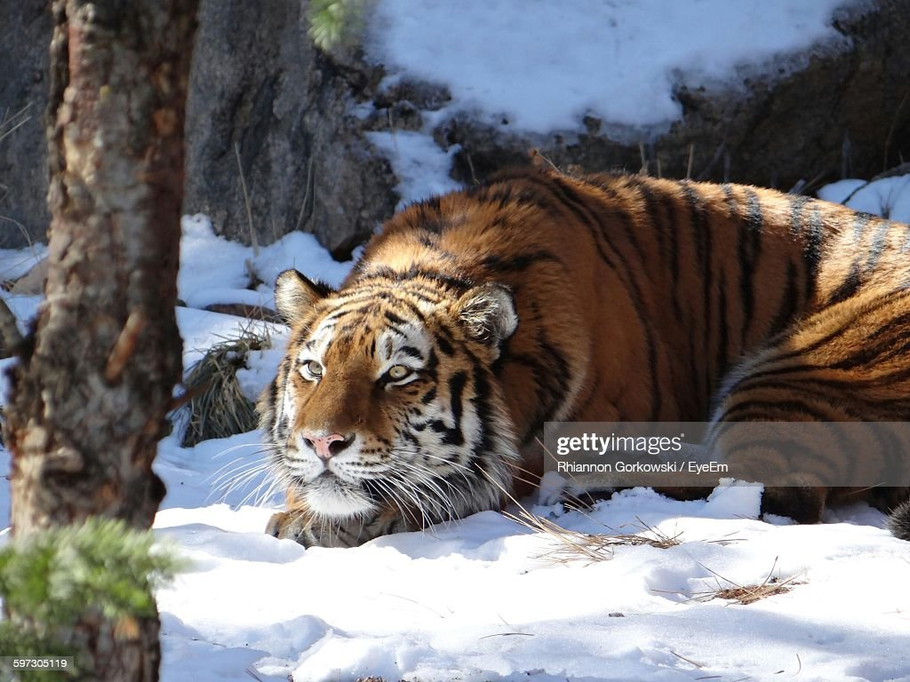 Siberian Tiger Resting On Snow Covered Field