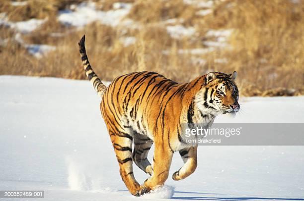 Siberian tiger (Panthera tigris altaica) running