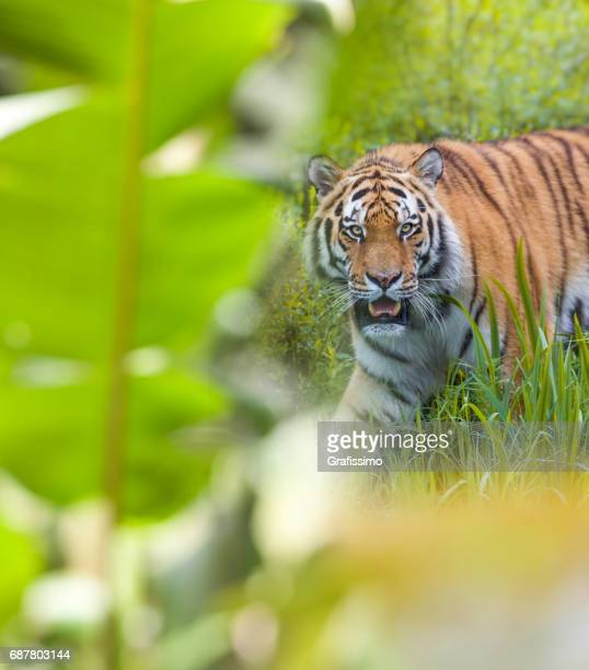 Siberian tiger searching for food
