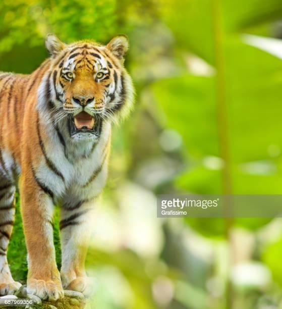 Sibirische Tiger im Dschungel Blick in die Kamera stehen
