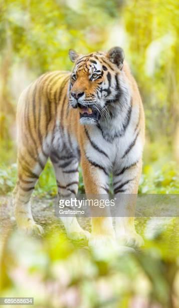 Sibirische Tiger im Dschungel stehen