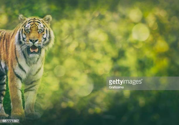 Siberian tiger standing looking at camera