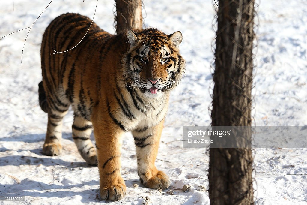 Siberian tiger stands in its enclosure at the Siberian Tiger Park on January 6 2014 in Harbin China The Siberian Tiger Park was built in 1996 located...