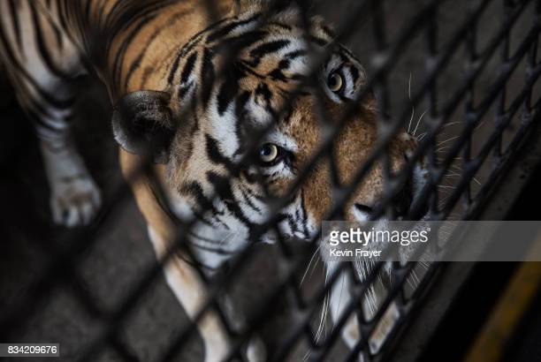 A Siberian Tiger waits to be fed by Chinese tourists in a bus at the Heilongjiang Siberian Tiger Park on August 16 2017 in Harbin northern China The...