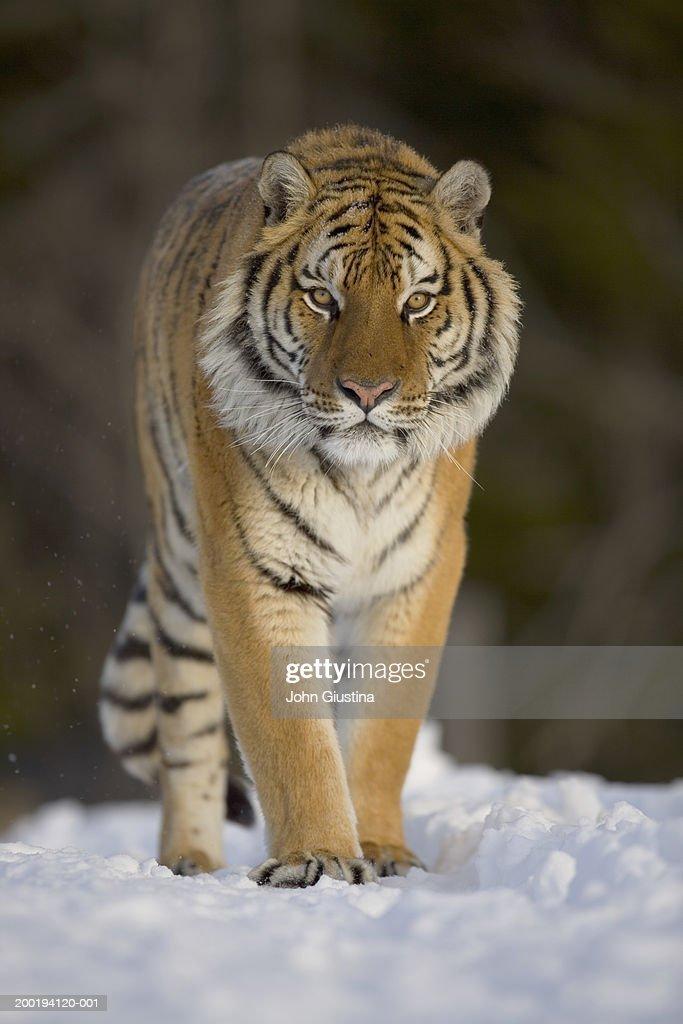 Siberian tiger (Panthera tigris altaica) walking in snow