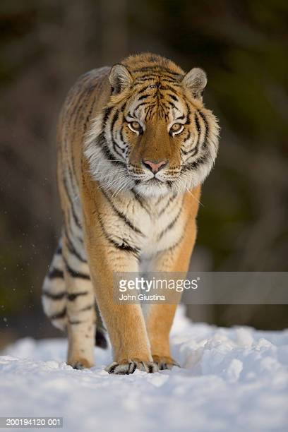 Siberian tiger (Panthera tigris altaica) walking in snow