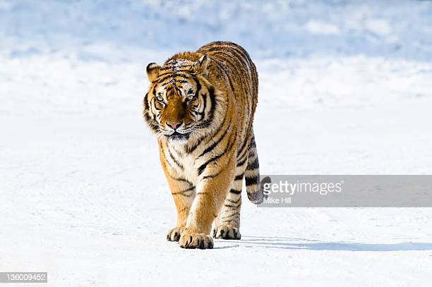 Siberian Tiger walking in the snow