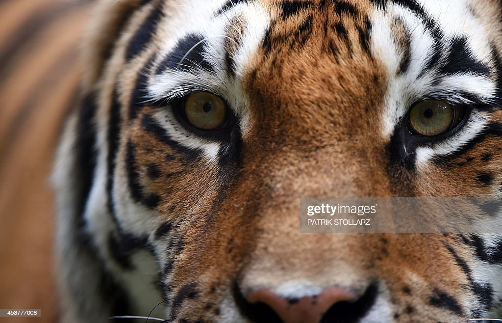 A Siberian Tiger walks around in its enclosure at the zoo in Muenster western Germany on August 18 2014 AFP PHOTO / PATRIK STOLLARZ