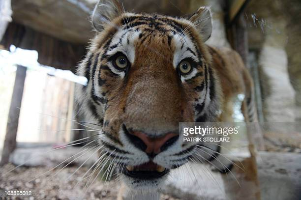 A Siberian tiger walks in his enclosure on May 16 2013 at the zoo in Gelsenkirchen western Germany AFP PHOTO / PATRIK STOLLARZ