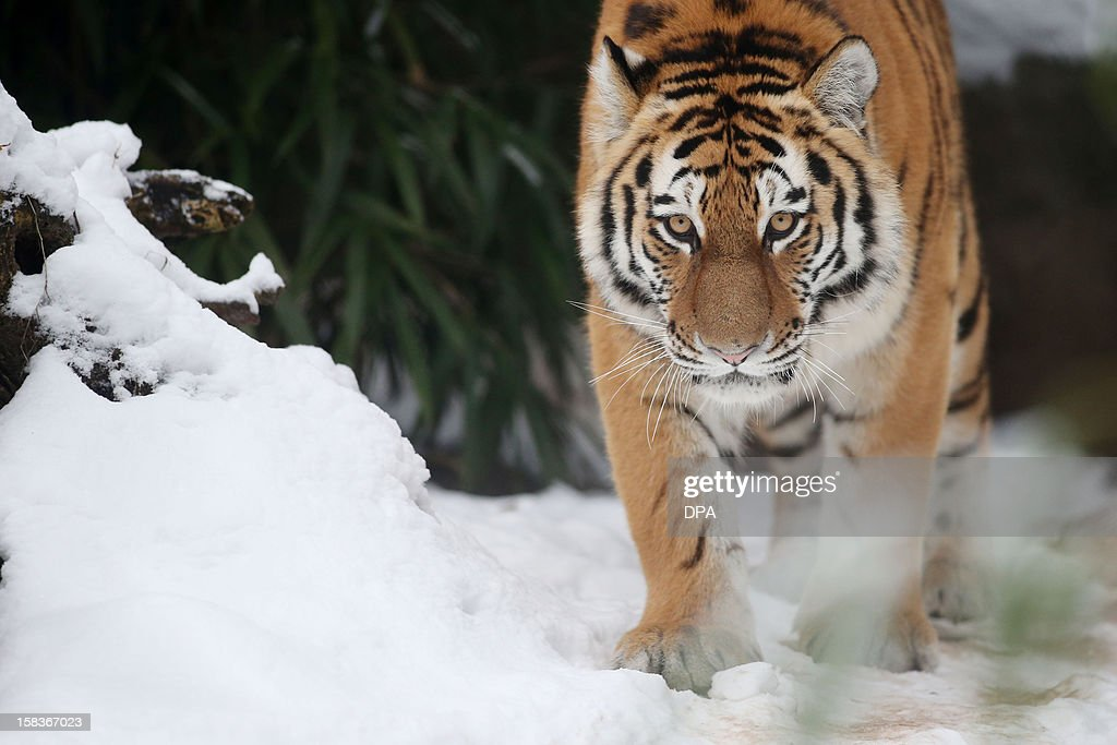 A siberian tiger walks in its enclosure on December 14 2012 at Hagenbeck zoo in Hamburg northern Germany AFP PHOTO / MALTE CHRISTIANS /GERMANY OUT