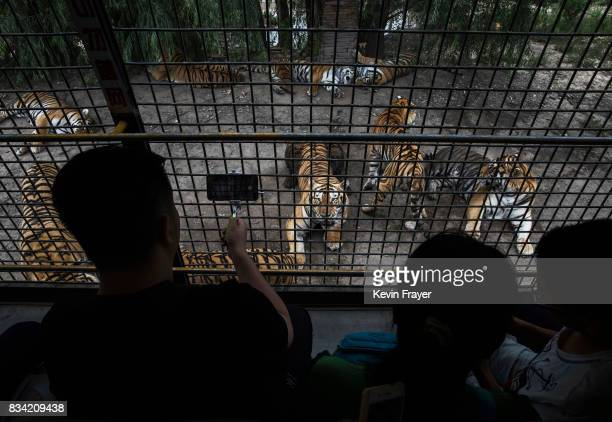 Siberian tigers are seen lounging waiting to be fed outside a tourist bus at the Heilongjiang Siberian Tiger Park on August 16 2017 in Harbin...