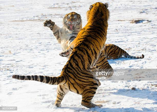 Siberian Tigers fighting in the snow