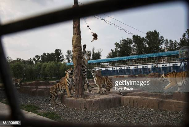 Siberian tigers leap to grab live chickens hanging from a cable after tourists paid to feed them at the Heilongjiang Siberian Tiger Park on July 5...