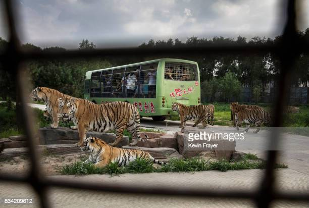 Siberian Tigers pace as they wait to be fed by tourists on a bus at the Heilongjiang Siberian Tiger Park on July 5 2017 in Harbin northern China The...