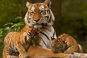 Siberian/Amur Tiger Cubs With Adult