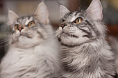 Sibling Maine Coons