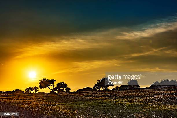 Sicily, carob trees at sunset
