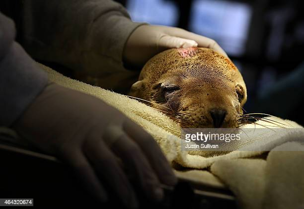 A sick and malnourished sea lion pup named Tough lays on an exam table at the Marine Mammal Center on February 24 2015 in Sausalito California For...