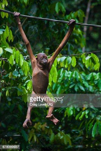 Sick Baby Orangutan, Borneo