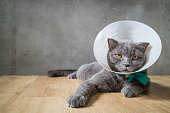 sick cat with funnel cone collar prevent him scratch his ear,british short hair catsick cat with funnel cone collar prevent him scratch his ear,british short hair cat
